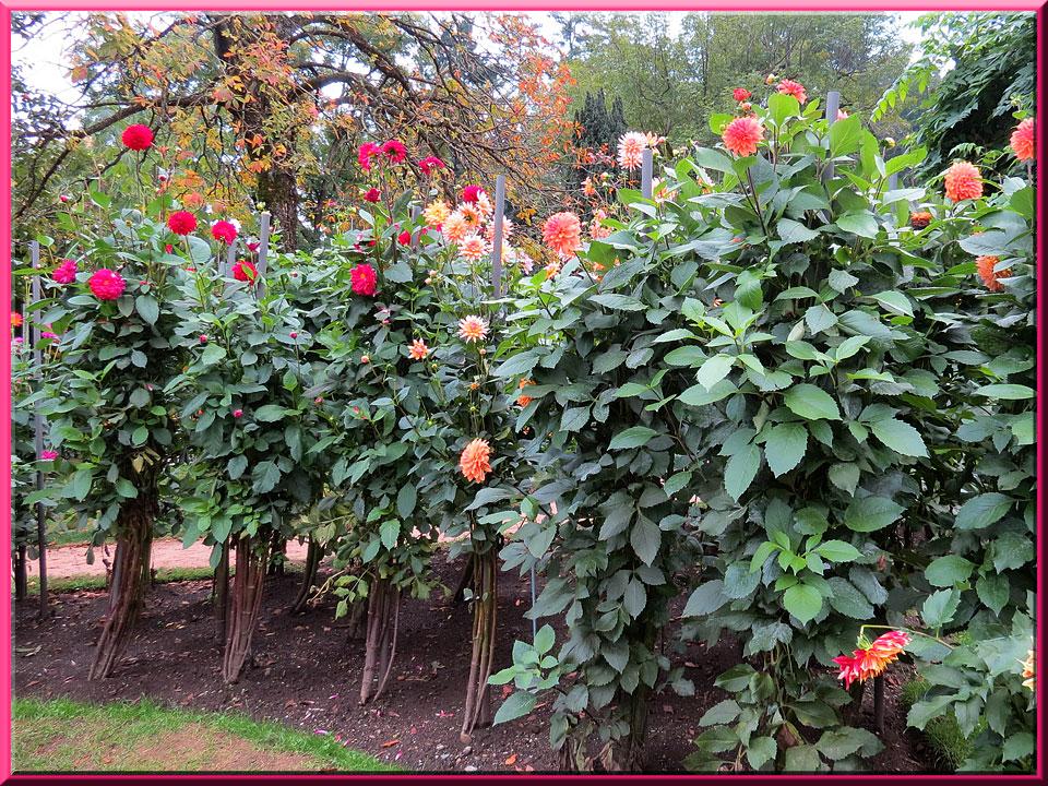 jardins de la villa Taranto à Verbania-Pallanza, jardin des dahlias