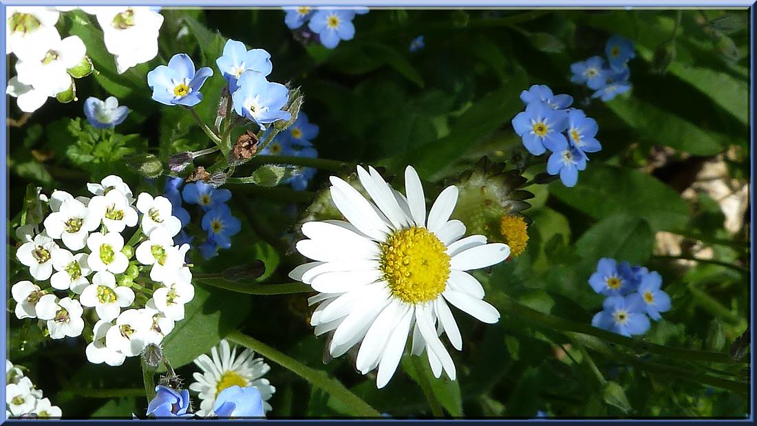 myosotis, pâquerettes et petites fleurs blanches